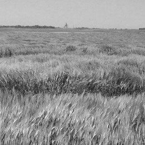 black and white barley field
